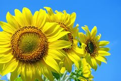Sunflowers against the blue sky. close up. Royalty Free Stock Image