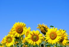 Sunflowers against the blue sky. close up. Royalty Free Stock Photography