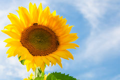Sunflowers against blue sky Stock Photography