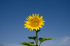sunflowers against a blue sky on field Stock Photography