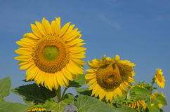 sunflowers against a blue sky on field Royalty Free Stock Photo