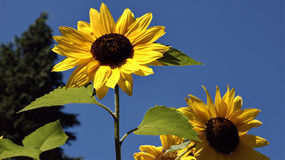 Sunflowers against blue sky royalty free stock images