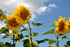 Sunflowers against a blue sky royalty free stock image