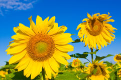Sunflowers against blue sky Stock Images