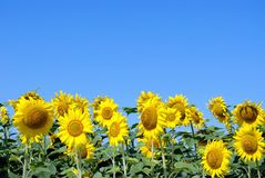 Sunflowers against the blue sky. close up. Royalty Free Stock Photos