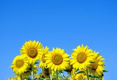 Sunflowers against the blue sky. close up. Stock Images