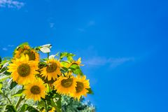 Sunflowers against a clear blue sky Stock Photo