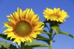 Sunflowers against a deep blue sky Stock Photos