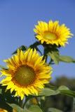 Sunflowers against a deep blue sky Royalty Free Stock Photo
