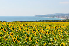Sunflowers against the sea Stock Photo
