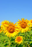 Sunflowers against the sky Royalty Free Stock Photos