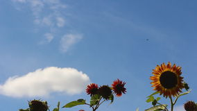 Sunflowers against the sky with clouds stock footage