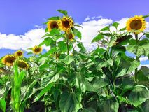 Sunflowers against the blue sky, the flowers of the Sun royalty free stock photos