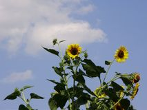 Sunflowers against the sky Royalty Free Stock Images