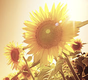 Sunflowers against sun  Royalty Free Stock Photography