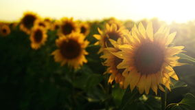 Sunflowers agricultural field in sunset. Royalty Free Stock Photography