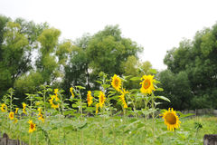 Sunflowers along the fence. Summer country view Stock Image