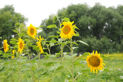 Sunflowers along the fence. Summer country view Stock Photography