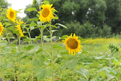 Sunflowers along the fence. Summer country view Royalty Free Stock Photos