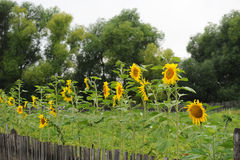 Sunflowers along the fence. Summer country view Royalty Free Stock Images