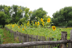 Sunflowers along the fence. Summer country view Royalty Free Stock Photography