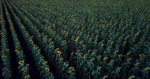 Sunflowers in a field in the afternoon. Sunflowers amongst a field in the afternoon in Nobby, Toowoomba Region, Queensland stock footage