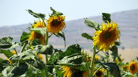 Sunflowers. Sunflowers  in Anatolia. Nature`s colorful flower Royalty Free Stock Images