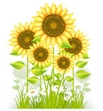 Sunflowers And Grass Stock Photography