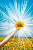 Sunflowers on arms Royalty Free Stock Images