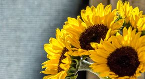 Sunflowers arranged royalty free stock photography