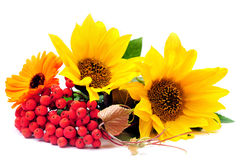 Sunflowers and ashberry Royalty Free Stock Photo
