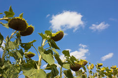 Sunflowers in august Royalty Free Stock Photo