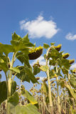 Sunflowers in august Royalty Free Stock Images