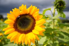 Sunflowers in autumn on a field. With a bee on the flower Royalty Free Stock Images