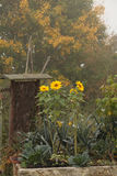 Sunflowers in autumn garden. Sunflowers in misty autumn garden with yellow trees in the background Royalty Free Stock Images