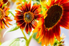Sunflowers. Back light yellow orange pedals and steams royalty free stock photo