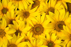 Sunflowers background. Young sunflowers background close up Stock Image