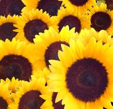Sunflowers Background Royalty Free Stock Photo