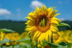 Sunflowers background and blue cloudy sky.  Landscape with sunfl Stock Images