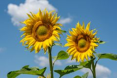 Sunflowers background and blue cloudy sky.  Landscape with sunfl Royalty Free Stock Image