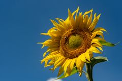 Sunflowers background and blue cloudy sky.  Landscape with sunfl Stock Image