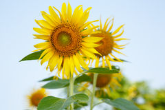 Sunflowers on a background of blue sky  Summer field. Royalty Free Stock Photography