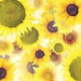 Sunflowers  background Stock Photos