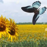 Sunflowers and blue butterfly Stock Photos
