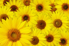 Sunflowers background Royalty Free Stock Images