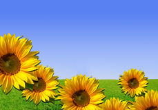 Sunflowers - background with grass and sky. Photo composition: Nature background with yellow flowers Stock Photography