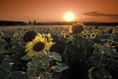 Sunflowers on a background of magic sunshine Stock Photography