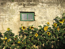Sunflowers on a background of a stone wall Royalty Free Stock Images