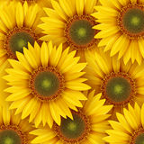 Sunflowers background. Sunflowers summer background, vector illustration Royalty Free Stock Photography
