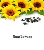 Sunflowers background with sunflower seeds. Stock Images